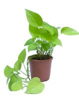 Money plant Green Leaf with Black High Quality pot