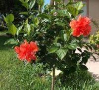 Hibiscus Dwarf Flower Plant